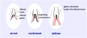 PlateauThe Clitoris